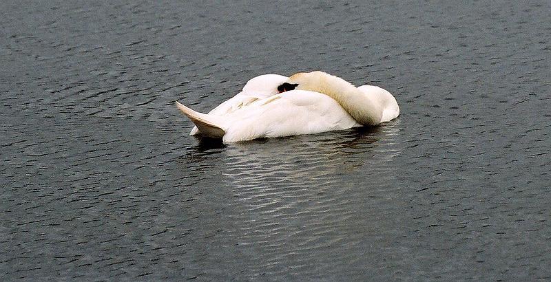 Sleeping swan, Hyde Park