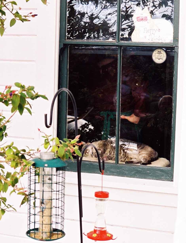 Basil in the window